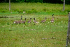 growinggeese