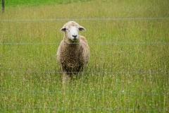 sheepstare