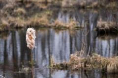 swampcattail