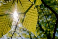 leaf_veins_sun