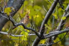 lady_cardinal