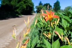 orangeDRflower