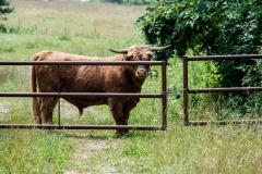 fenced_Bull