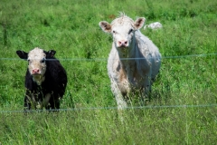 grasscalfs