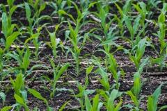 corngrow