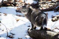 graykat