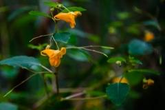 orange_jewel_weed
