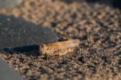beachgrasshopper