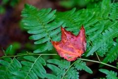 leafonfern