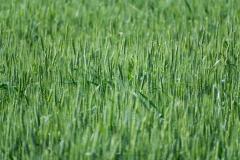 greenwheattime