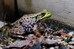 Green_frog_Lithobates_clamitans_