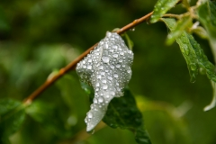 wetbubblesonleaf