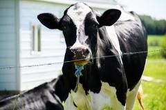 cowschoolpic