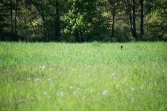 turkeyheadgrass