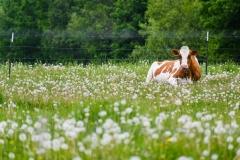 cowfrolicking