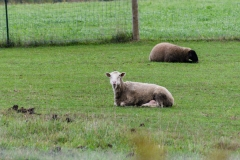 sheepsheeping