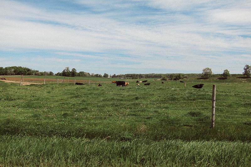 cowsandgrass