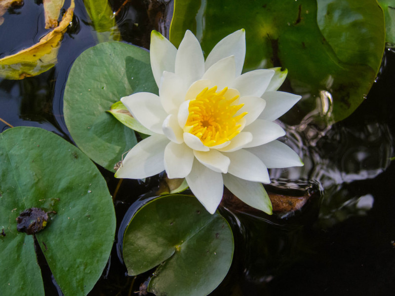 lilypadflower