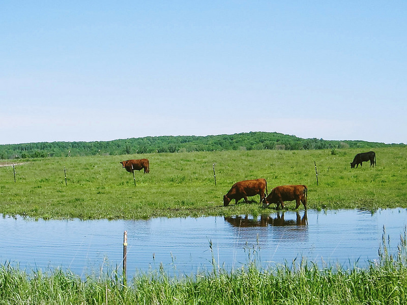 reflectioncows