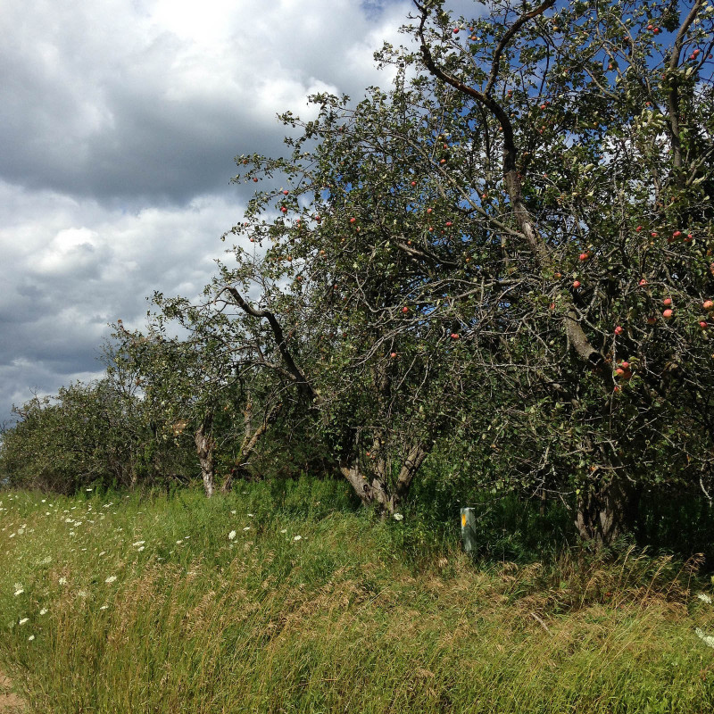 appletrees-2