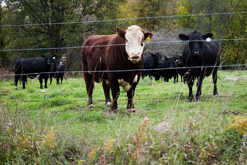 cowII