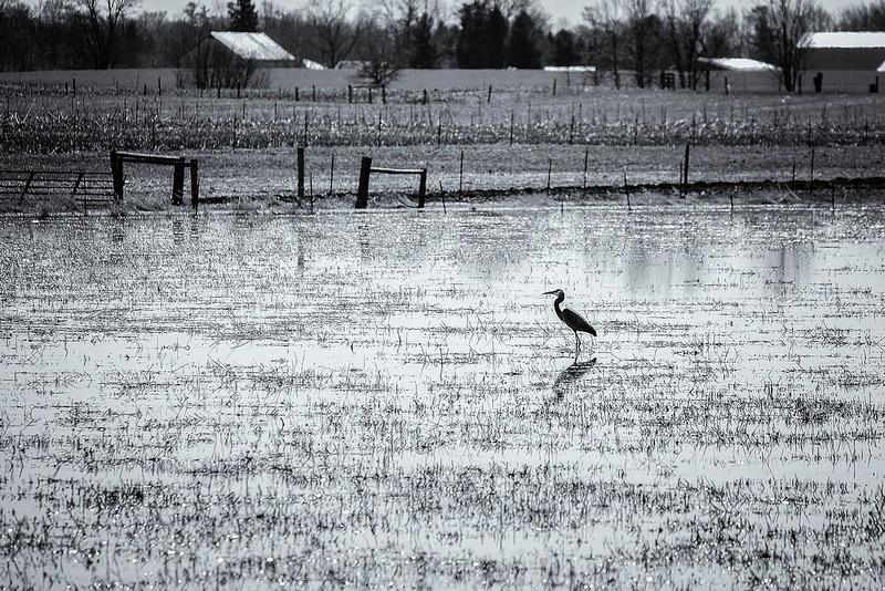 Sandhill Crane Michigan