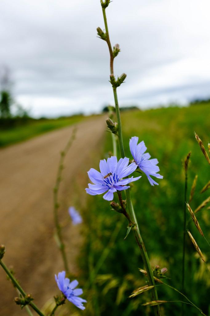 Dirt_road_wild-flower
