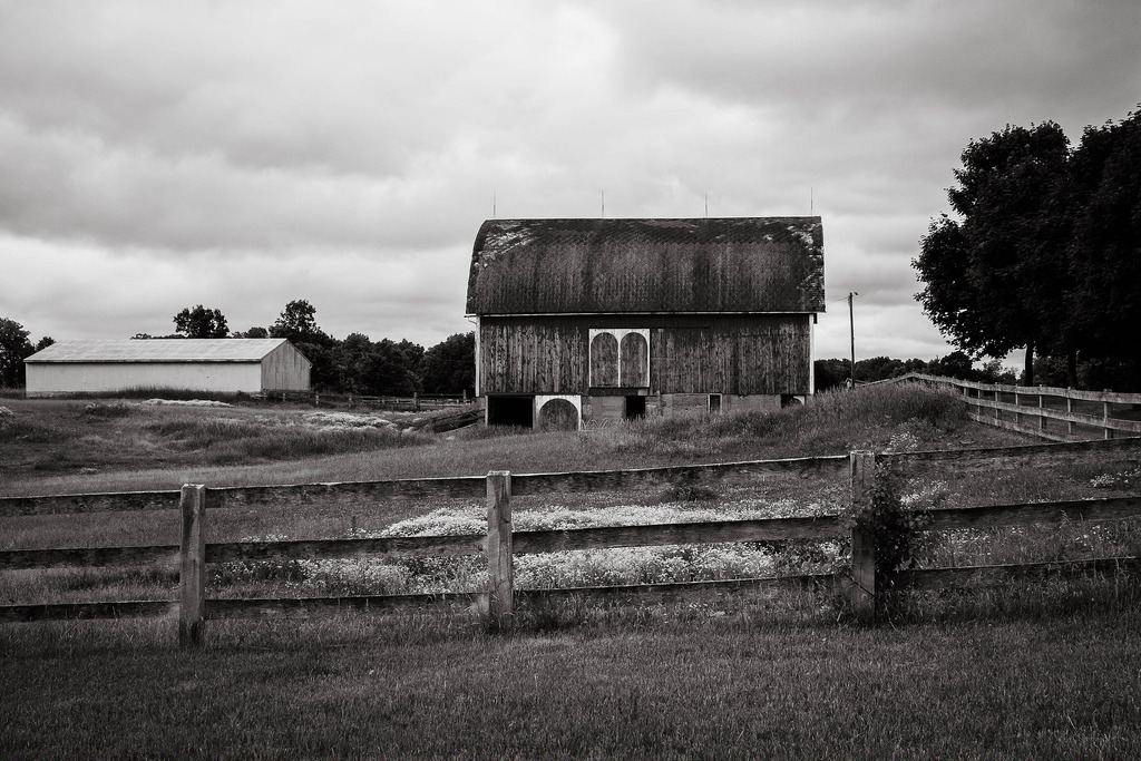 black-white-barn-rosebush