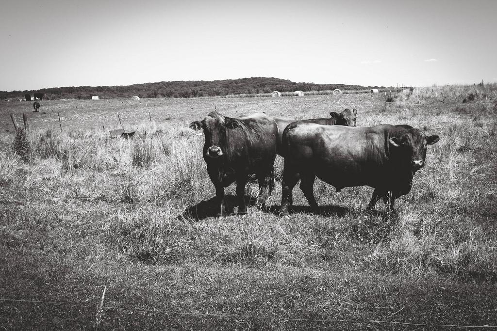 bulls-waiting-for-love