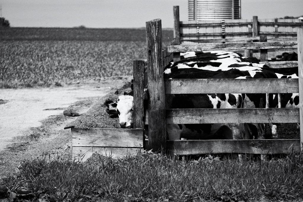 cow-feeding-again