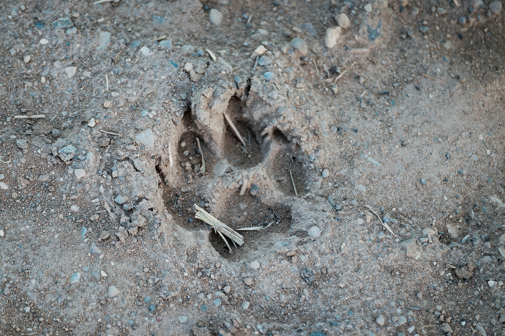 coyote-track-maybe
