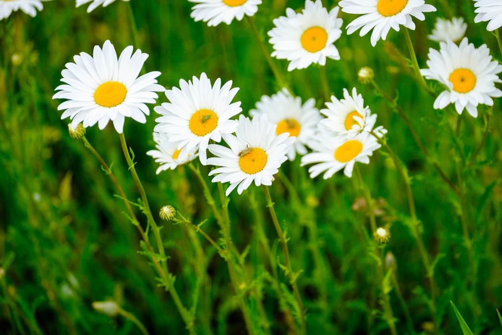 daisy-bugs-roadside