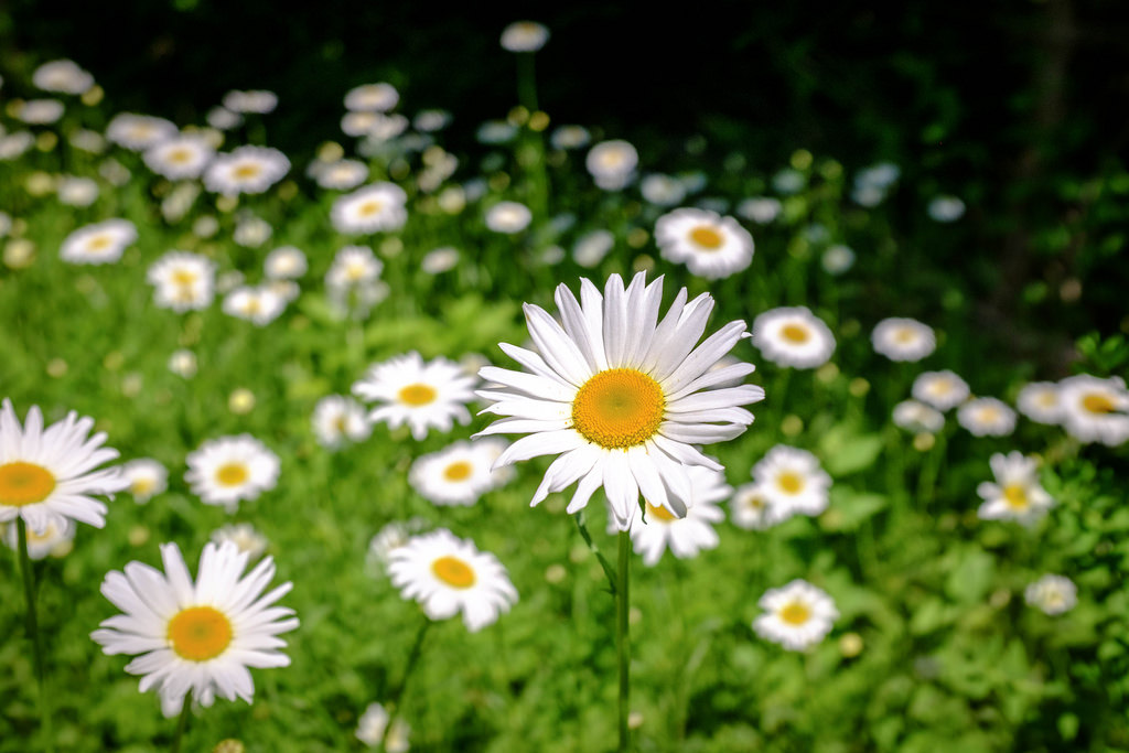 daisys-close-up