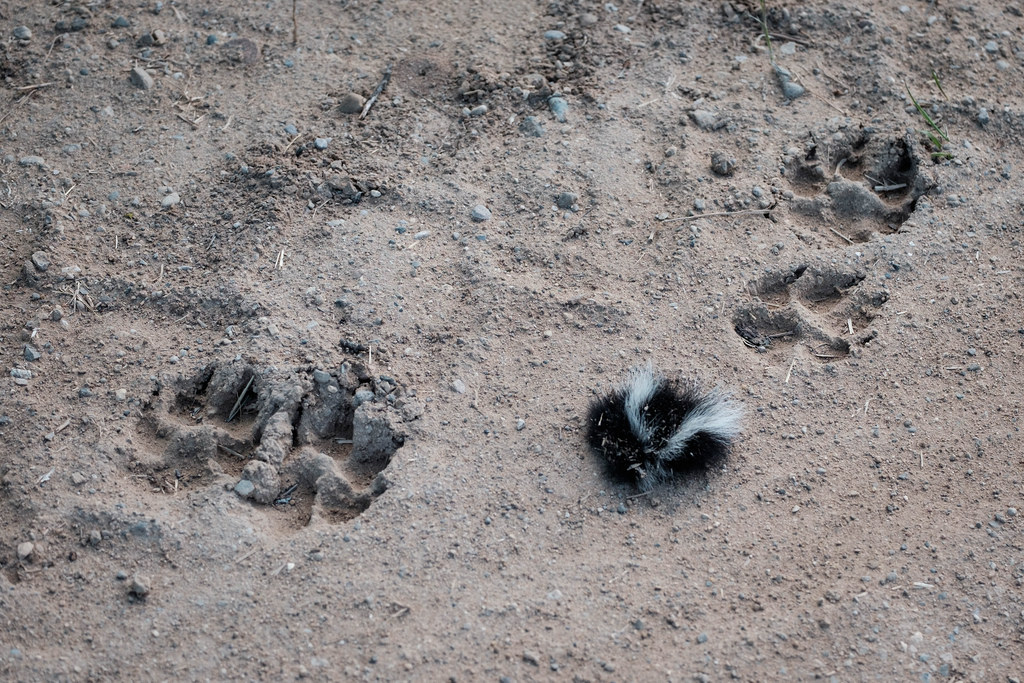 paw-prints-coyote-skunk-battle