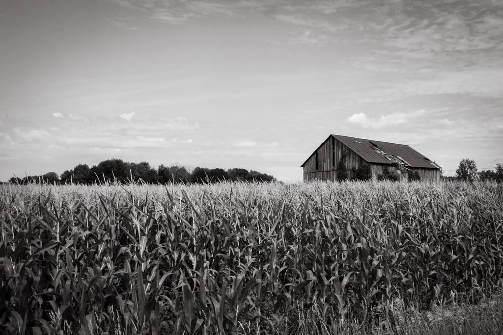 barn-corn-bw