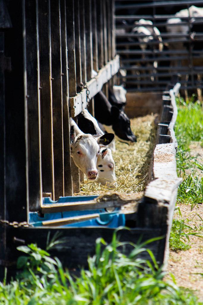 cows-eating-hay