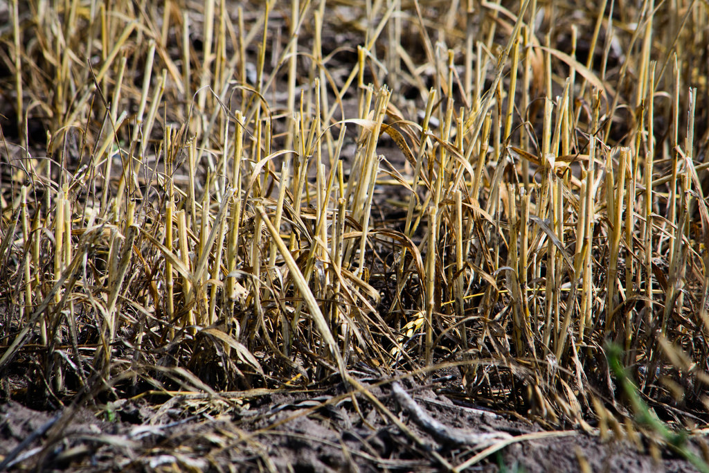 cut-wheat