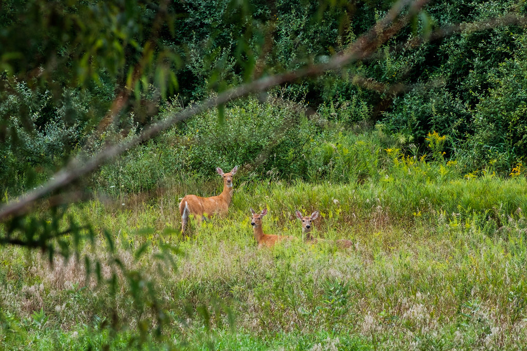 3-deer-in-field