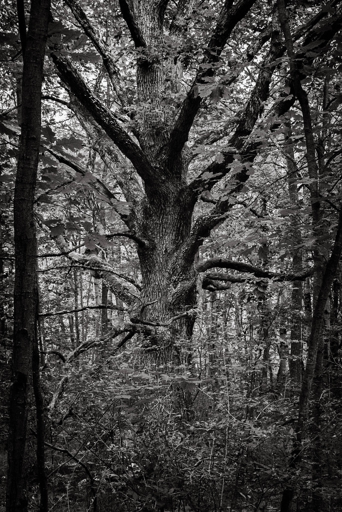 BW_Tree_Deerfield