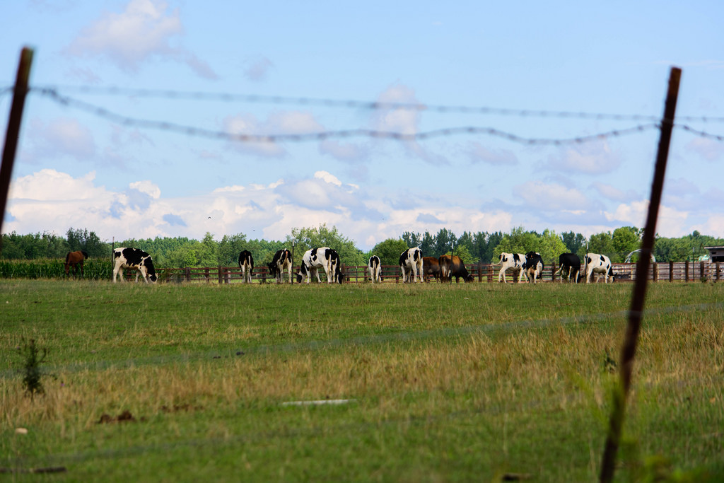barbed-wire-cows