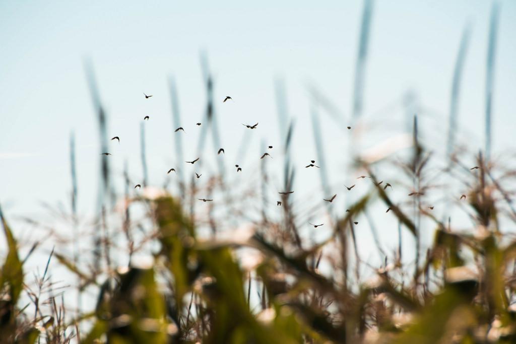 birds_of_the_corn