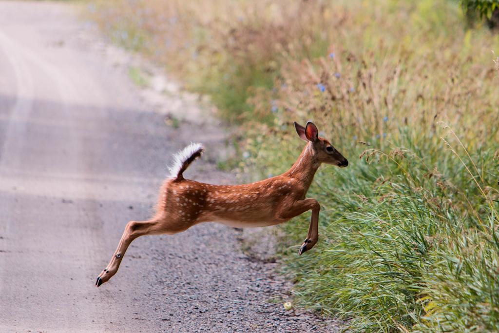 fawn-running-jumping