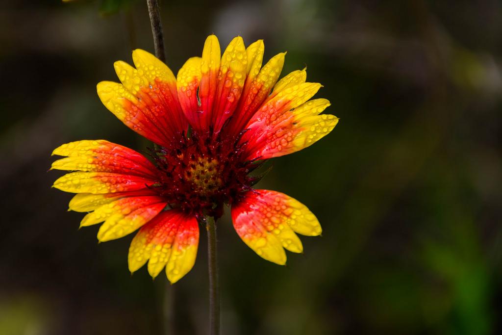 flower-3-deerfield