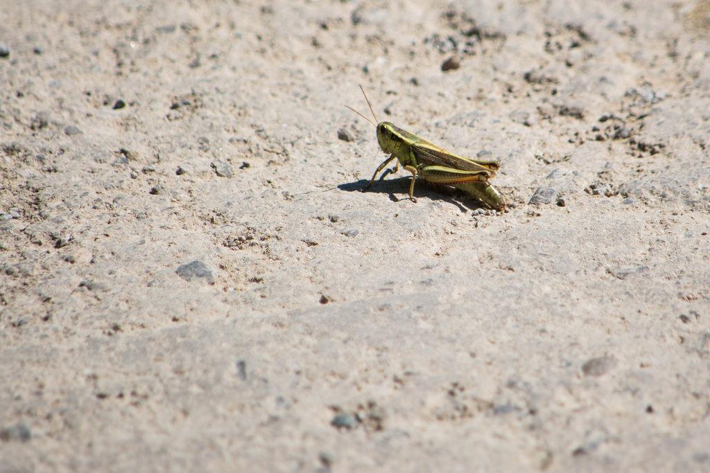 grasshopper-dirt-road