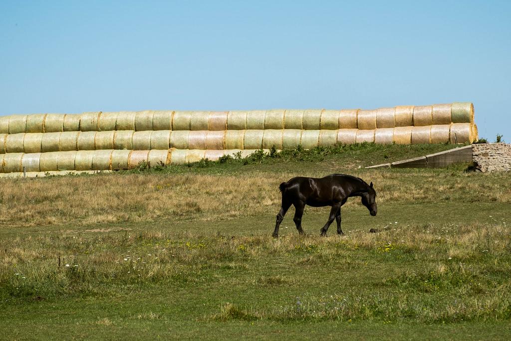 horse-hay-field