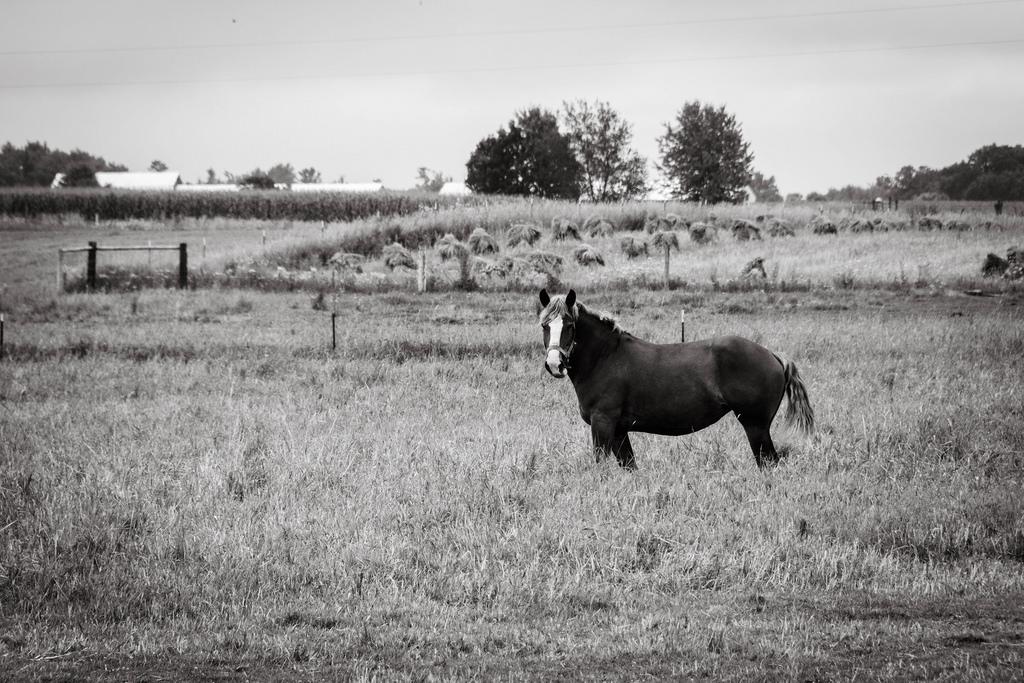 horse-in-field