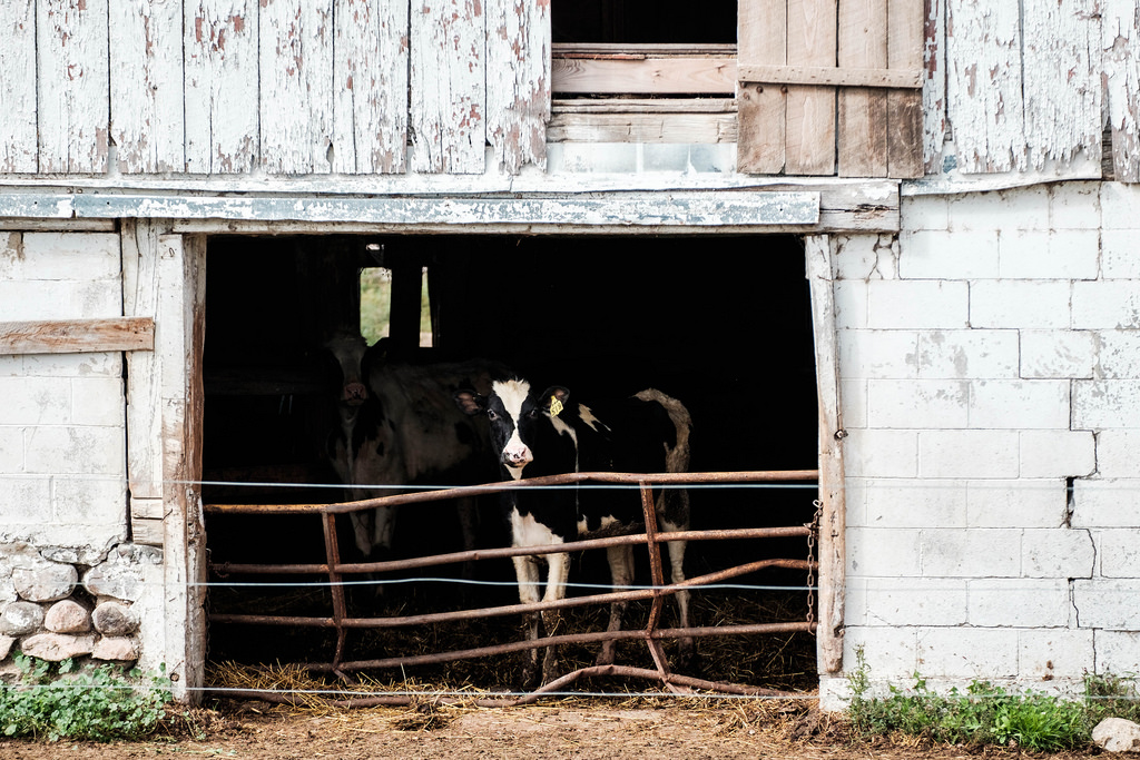 cows_in_barn