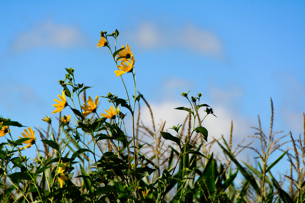 flowers_in_the-corn
