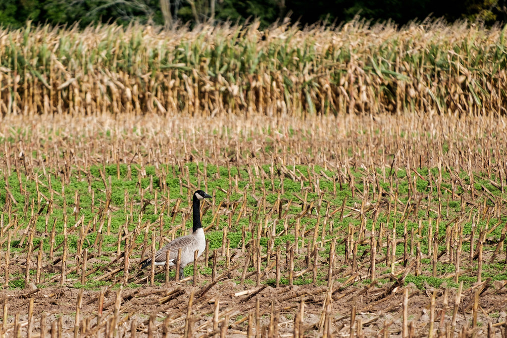 goose_in_the_corn