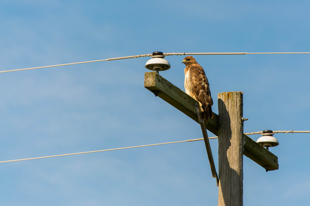 hawk_on_wire